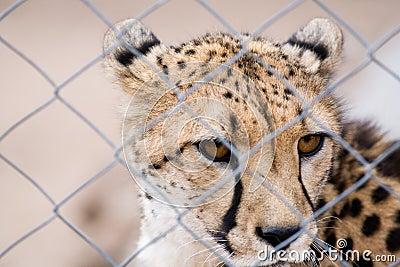 Caged cheetah