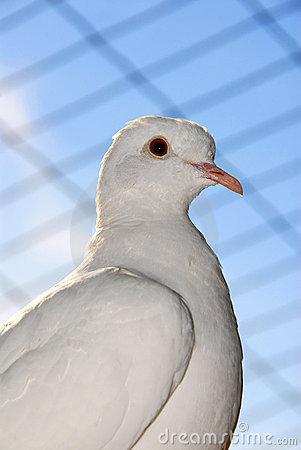 Free Caged Dove Stock Photos - 11912133