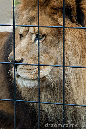 Caged sad lion