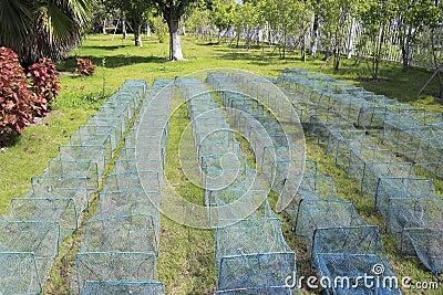 Cages utilisées pour les crabes contagieux