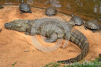 Caiman crocodile, Brazil, South America