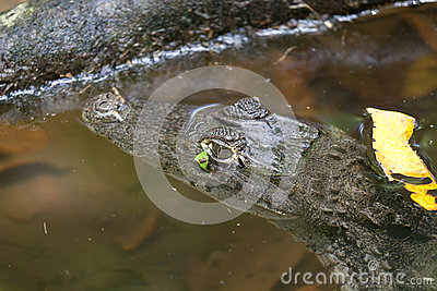 Caiman crocodillus
