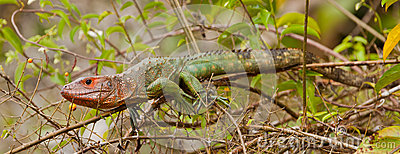 Caiman Lizard on branch
