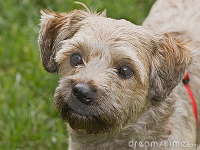 Terrier Mixed Breed Dog Stock