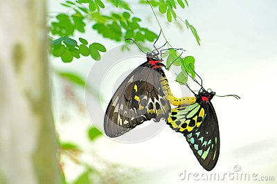 Cairns Birdwing butterflies mating