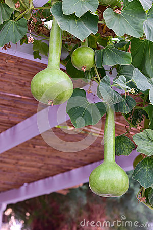 Free Calabash Gourd Plant Fruits Stock Photography - 58382152