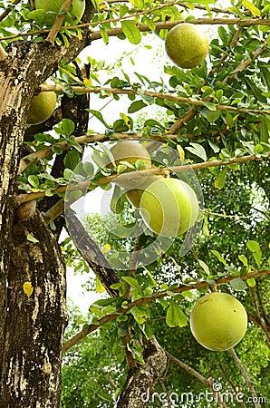 Calabash tree.