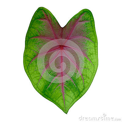 Free Caladium Leaves Stock Images - 55160714
