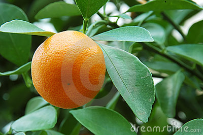 Calamondin Citrus Orange