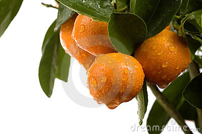 Calamondin tree with fruit and leaves