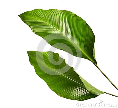Free Calathea Foliage, Exotic Tropical Leaf, Large Green Leaf, Isolated On White Background Royalty Free Stock Images - 113283989