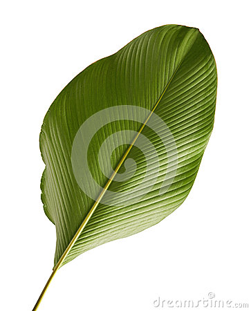 Free Calathea Lutea Foliage, Cigar Calathea, Cuban Cigar, Exotic Tropical Leaf, Calathea Leaf, Isolated On White Background With Clip Stock Photo - 99185830
