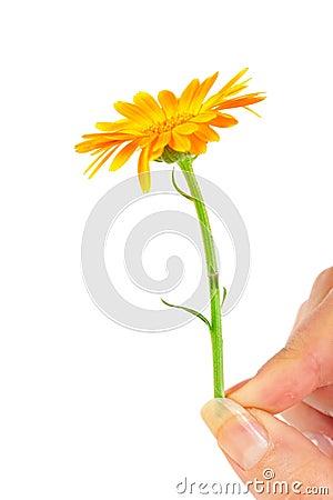Calendula flower in hand