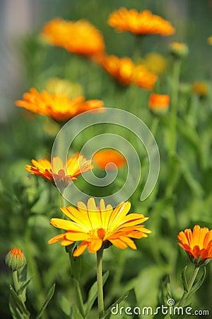 Free Calendula Flowers Stock Photo - 7117610