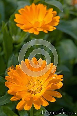Calendula marigold flower