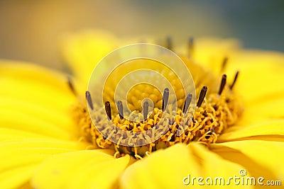 Calendula officinalis - pot marigold.