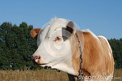 Calf cow in profile