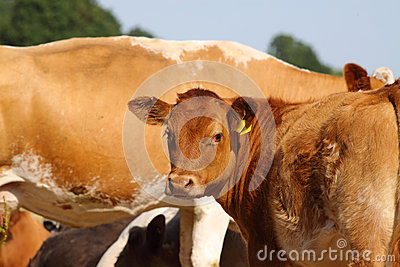 Calf and cows A
