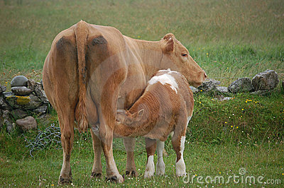 Calf drinking milk from udder