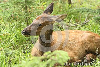 Calf elk hiding 2