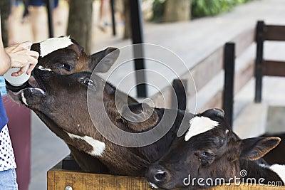 Calf feeding