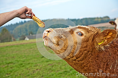 Calf gets feed