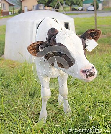 A Calf and her Hutch
