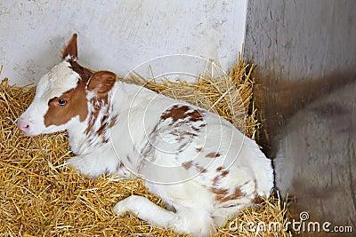 Calf lie in stall