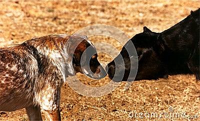 Calf Meets Dog