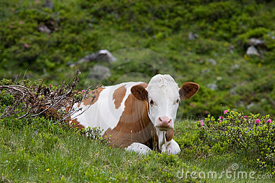 Calf resting on meadow