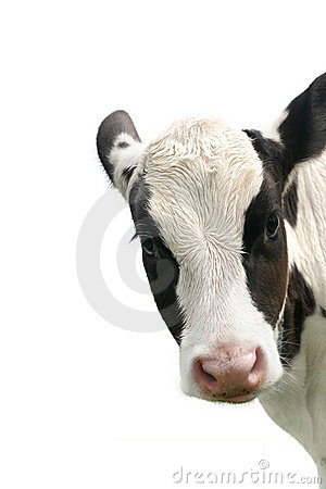 Calf on a white background