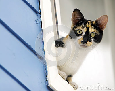 Calico Cat Leaning out of Window