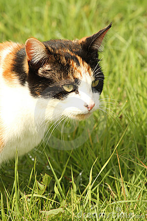 Calico cat sat in grass portrait