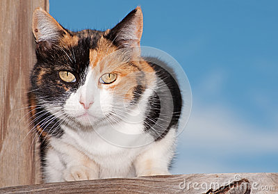 Calico cat on wooden porch