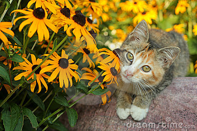 Calico kitty and Rudbeckia