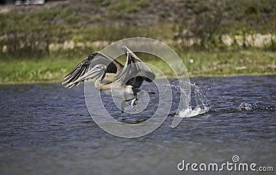 California Brown Pelican in Flight Over Lagoon
