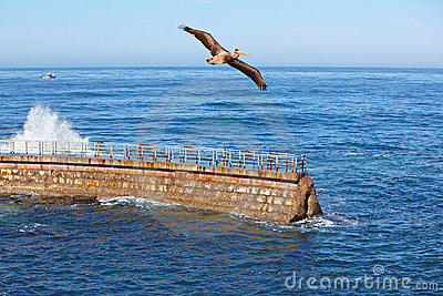 California Brown Pelican in flight~ Waves Crashing