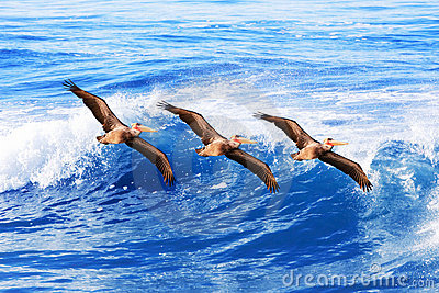 California brown pelicans in flight ~ Pelecanus