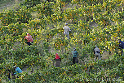 California Grape Vineyard Harvest