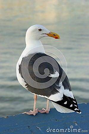 Free California Gull Stock Image - 5258151