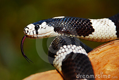 California King Snake w/tongue