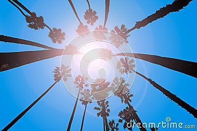 California Palm trees view from below in Santa Barbara