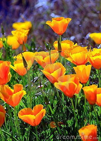 Free California Poppies Royalty Free Stock Images - 14794419