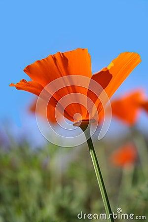 California Poppies