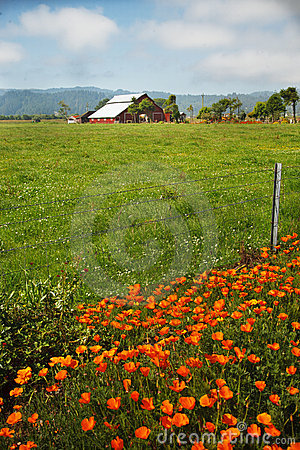 California Poppies Beside Field with Red Barn