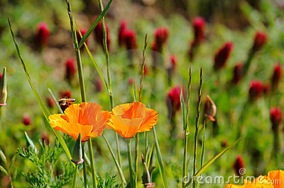 California Poppy And Crimson Clover