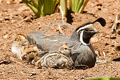 California Quail And Chicks Royalty Free Stock Photos - Image: 19517278