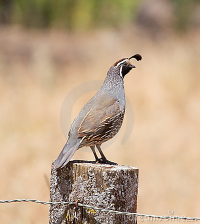 California Quail: Male on Post
