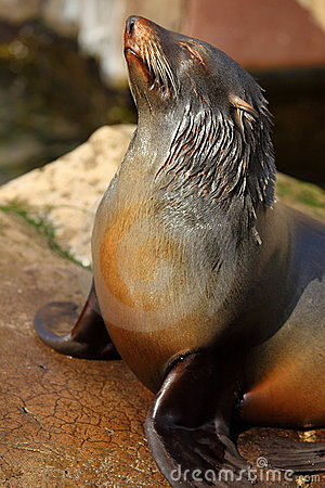 Free California Sea Lion Stock Image - 8475631