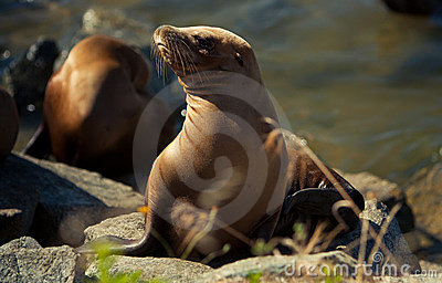 California sea lion in afternoon sun